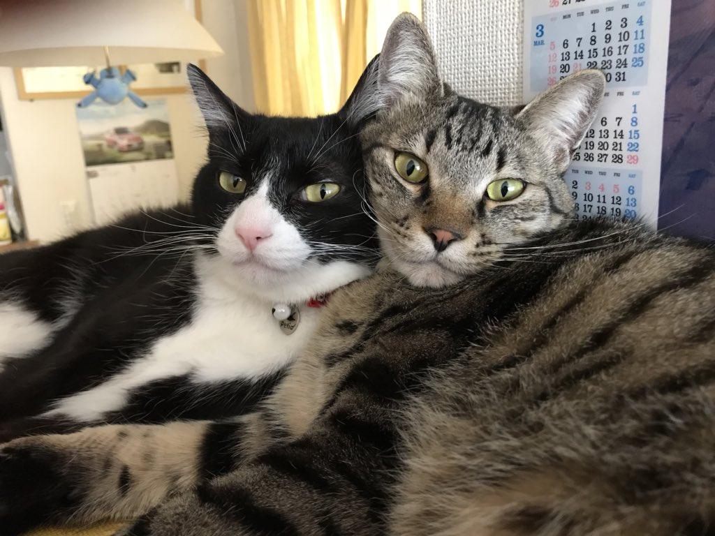 猫 画像 cat image 本当にたくさんのリツイート・いいねありがとうございます! マーブルとチョコには猫缶がふさわしい!  0