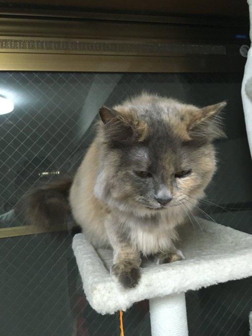 猫 画像 cat image 【拡散希望】17日午前3時に足立区日ノ出町で飼い猫のパピコちゃんが脱走しました。 特徴としては灰色で長毛、目は黄色、室内飼いだったので人見知りせます。本当に見つけたいのでどうかよろしくお願いします。