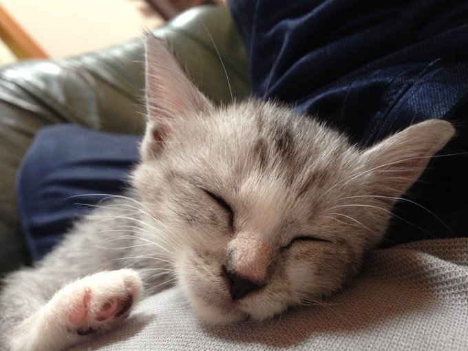 猫 画像 cat image   ひたすらに美猫。