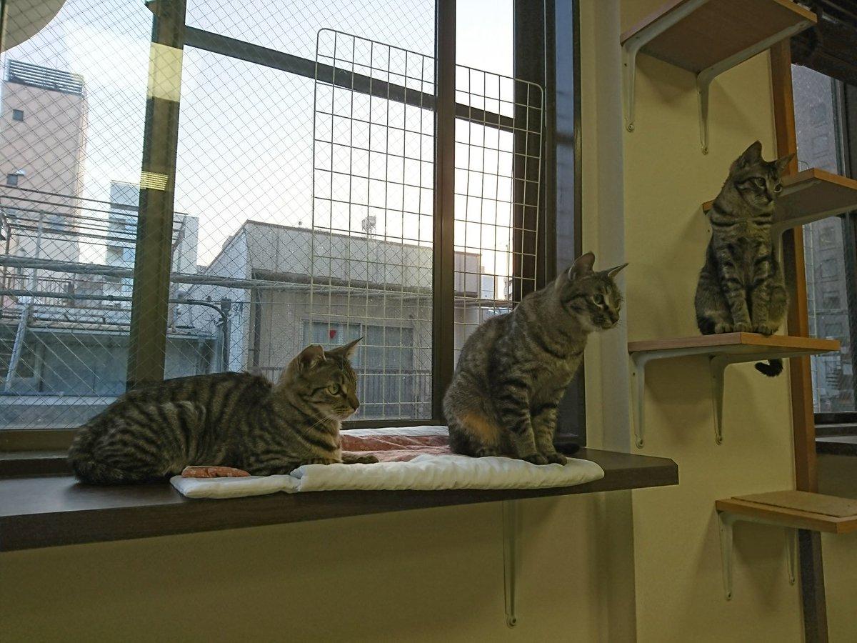 猫 画像 cat image ちなみにうちの猫さんはこちらのお店の卒業生です。  人形町 保護猫カフェたまゆら(@CatcafeTamayura)  かわいらしくて人懐っこい猫さんばかりで、猫さんを迎えたい方にも、ただ癒されたいという方にもオススメです。  0