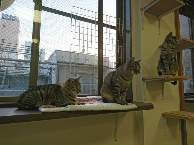 猫 画像 cat image ちなみにうちの猫さんはこちらのお店の卒業生です。  人形町 保護猫カフェたまゆら(@CatcafeTamayura)  かわいらしくて人懐っこい猫さんばかりで、猫さんを迎えたい方にも、ただ癒されたいという方にもオススメです。