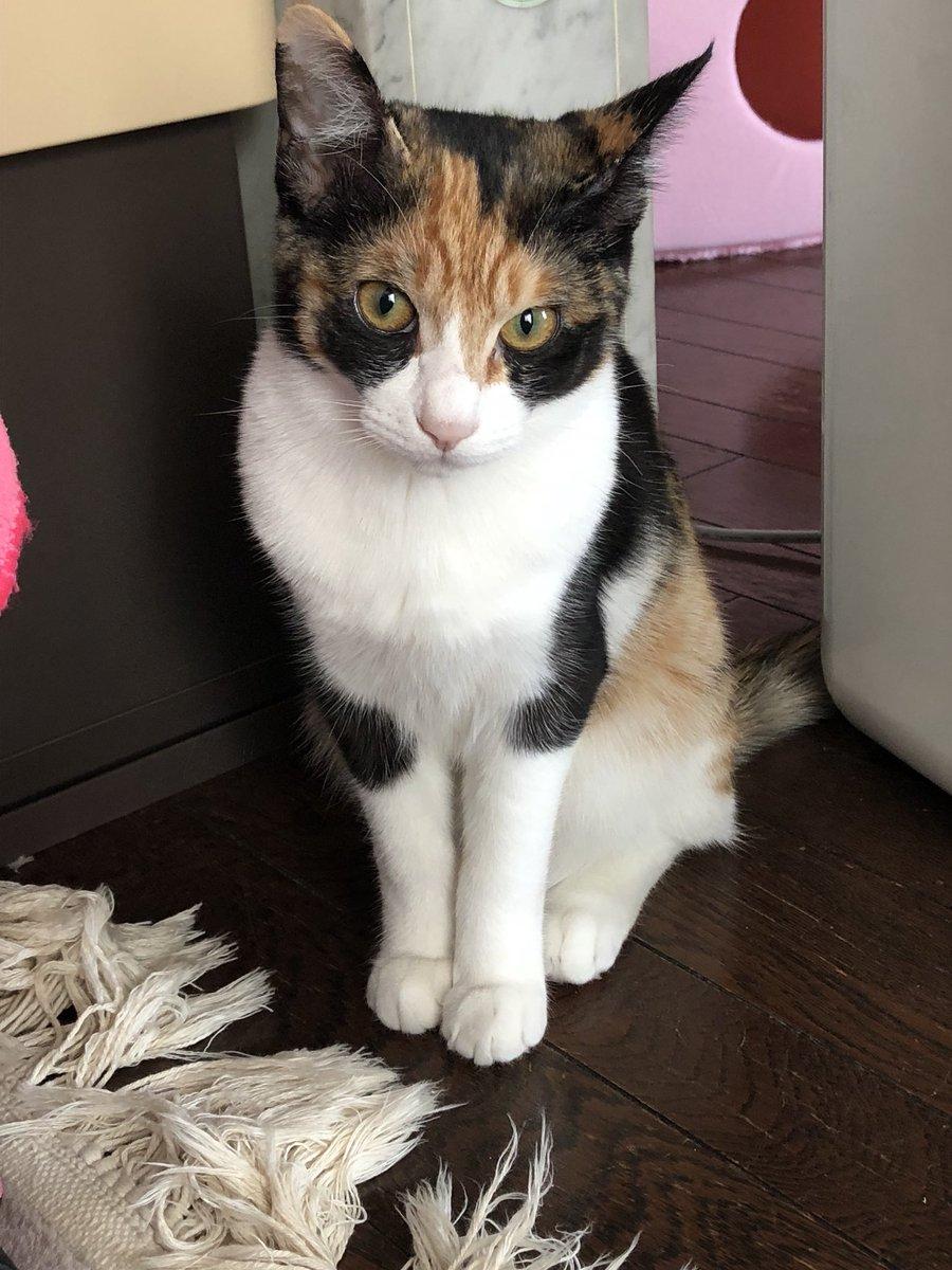 猫 画像 cat image   かわいい子猫から美人猫になった。  1