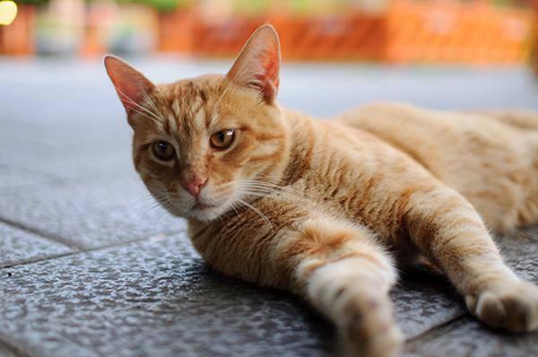 猫 画像 cat image はっ! よく考えたら 「猫の手も借りたい」って、 猫が役に立たない前提だ!!  0