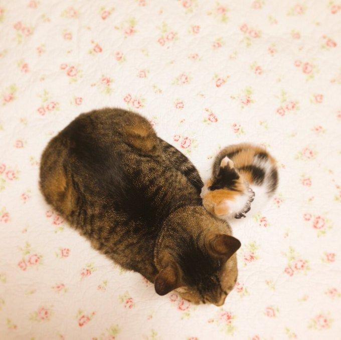 猫 画像 cat image お世話してくれた優しいおじいちゃん猫と同じくらい大きくなりました(  ¨̮  )♡