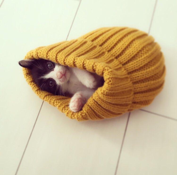 猫 画像 cat image 保護猫の中で一番小さくてか弱そうな子を連れてきたんだけど…? 関取になったとさ。    0