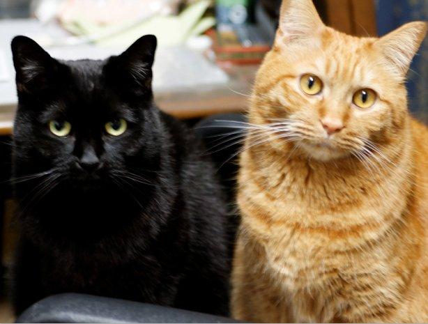 猫 画像 cat image 今日は『乙女戦争』の原稿をお休みして、ねこマンガ描いてました。我が家の飼い猫の紹介というか、ただの惚気マンガです♪  1
