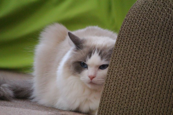 猫 画像 cat image スタッフひなち:さつき「なんでお客さんこないの...??」(ゴゴゴゴゴ...) ペコ「またノーゲスね...」(ゴゴゴゴゴ...) 猫ちゃん達暇そうです... 貸切までまだお時間ありますので是非ご来店ください!!!