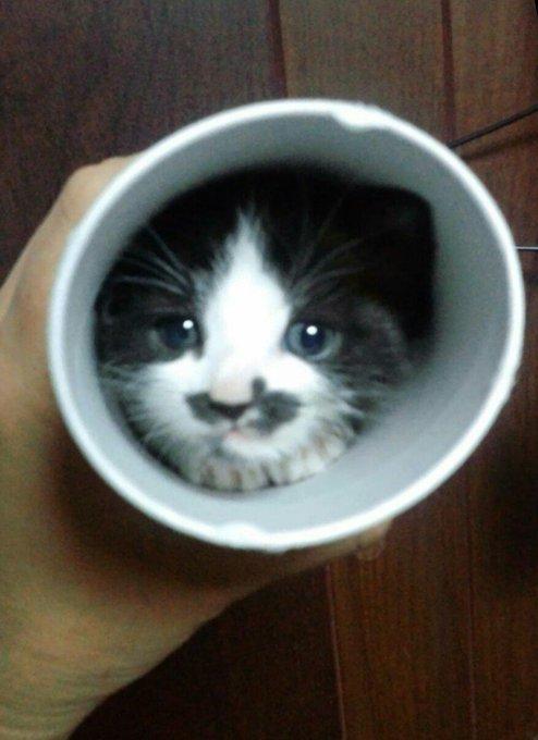 猫 画像 cat image   初めての散歩(?)で母猫について行けずミーミー鳴いていた、小脳形成不全の弊ぬこ胡麻チュロスも見た感じとても健やかに育ってる(*´∀`*)サリ〜♪