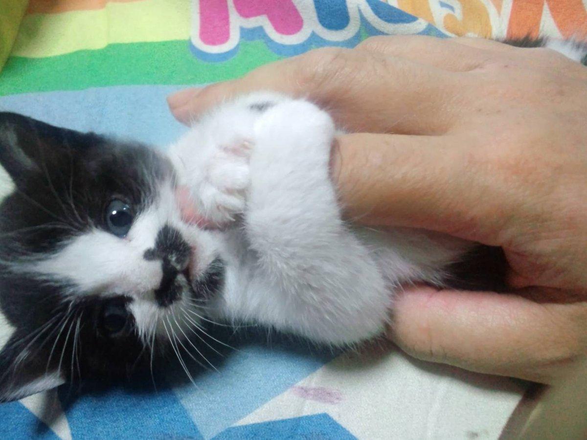 猫 画像 cat image   初めての散歩(?)で母猫について行けずミーミー鳴いていた、小脳形成不全の弊ぬこ胡麻チュロスも見た感じとても健やかに育ってる(*´∀`*)サリ〜♪  1