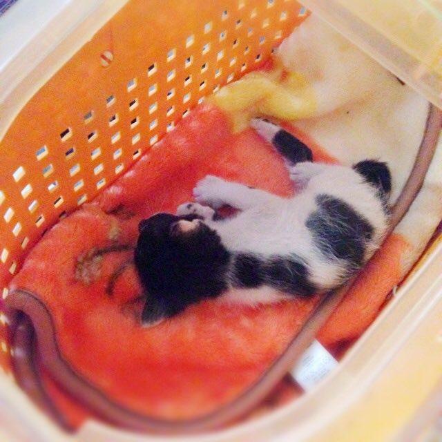 猫 画像 cat image 生後1カ月前で別の野良猫に喉噛まれて穴が空き親猫が騒いでるところを保護。病院の先生に9割助からないと言われた豆がこんなにも元気に成長しました   0