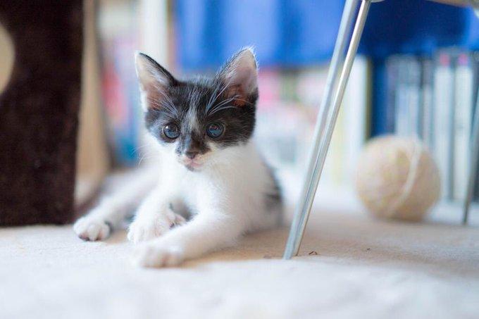 猫 画像 cat image 生後1カ月前で別の野良猫に喉噛まれて穴が空き親猫が騒いでるところを保護。病院の先生に9割助からないと言われた豆がこんなにも元気に成長しました