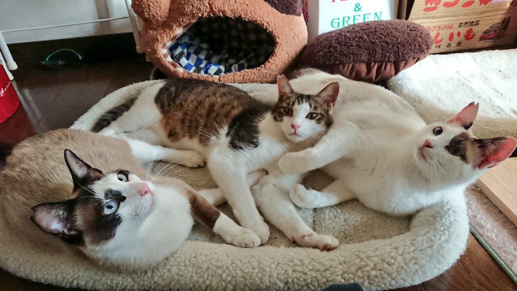 猫 画像 cat image 早めの猫盛り。しつじもはいりなよーって誘われてるんですが……どのあたりに?  0