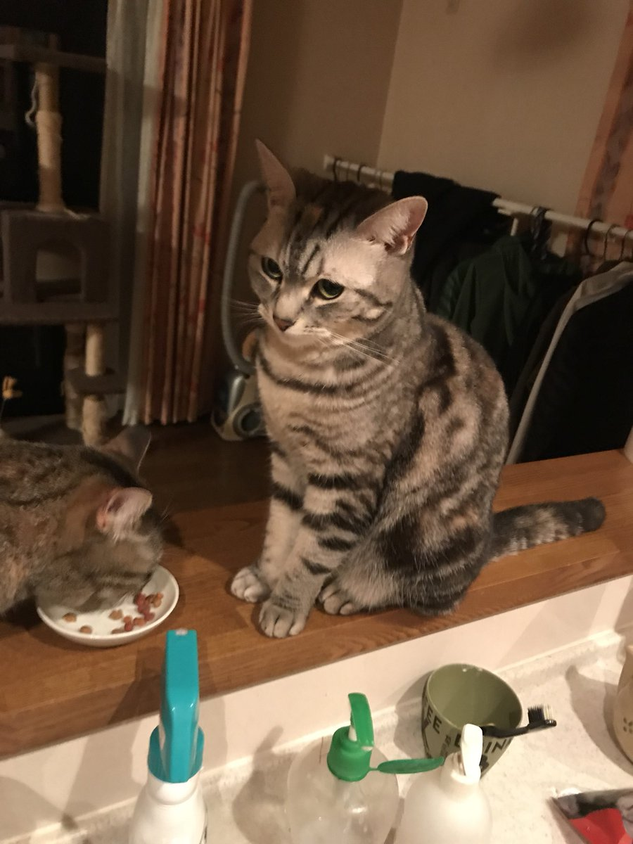 猫 画像 cat image こちらが餌を横取りされ拗ねるうちの猫です  1