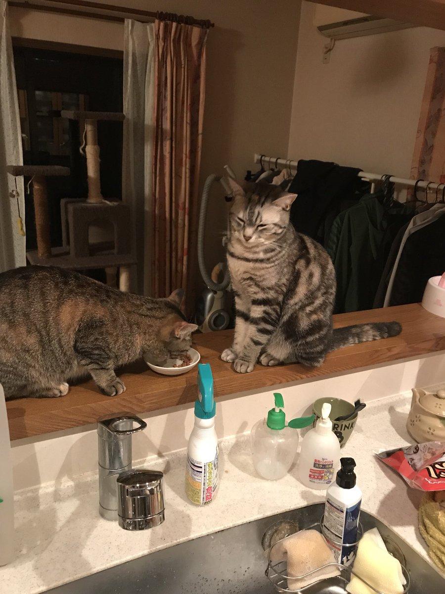 猫 画像 cat image こちらが餌を横取りされ拗ねるうちの猫です  0