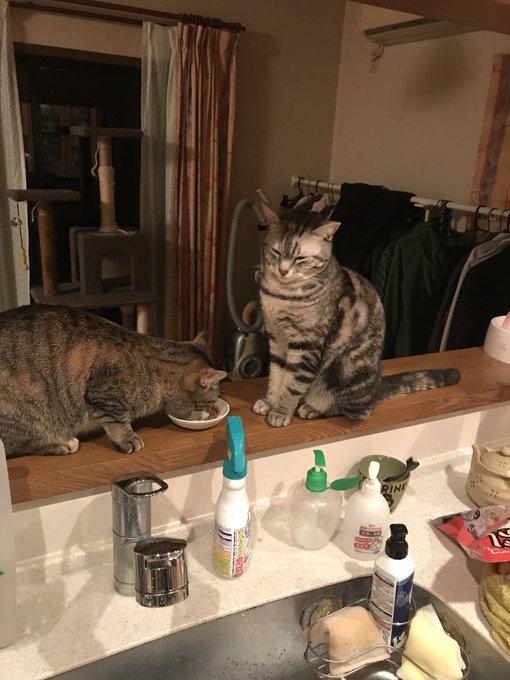 猫 画像 cat image こちらが餌を横取りされ拗ねるうちの猫です