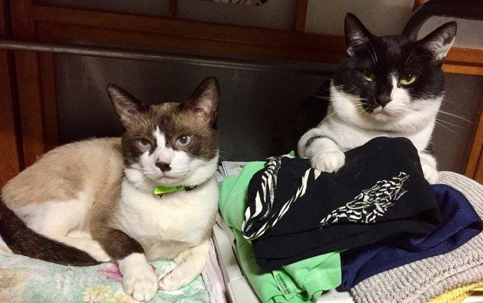 猫 画像 cat image 一歳上のお兄ちゃん猫との顔のサイズ比較
