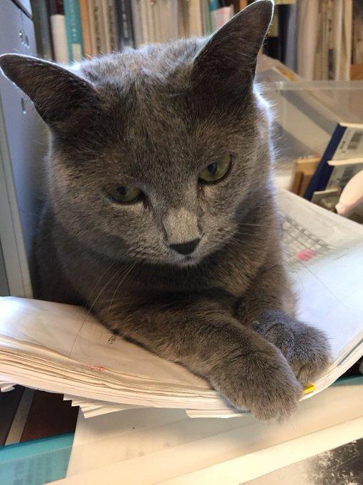猫 画像 cat image 今日のグリです。二日間ほどお休みしてしまいました。100分授業3コマ連続300分で疲労困憊して、帰宅後、すぐに寝てしまったためです。 グリはお気に入りの紙ベッドに寝ています。