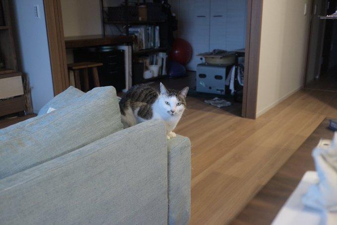 猫 画像 cat image 撮ってもらって嬉しかったので載せます! 1枚目は「みんな個展に来てほしいな」という表情で、2.3枚目も「みんな個展に来てほしいな」という表情で、4枚目は猫です!! よろしくお願いします!