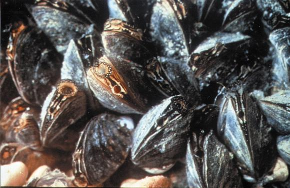 1988 : Zebra Mussels Discovered in Lake St. Clair