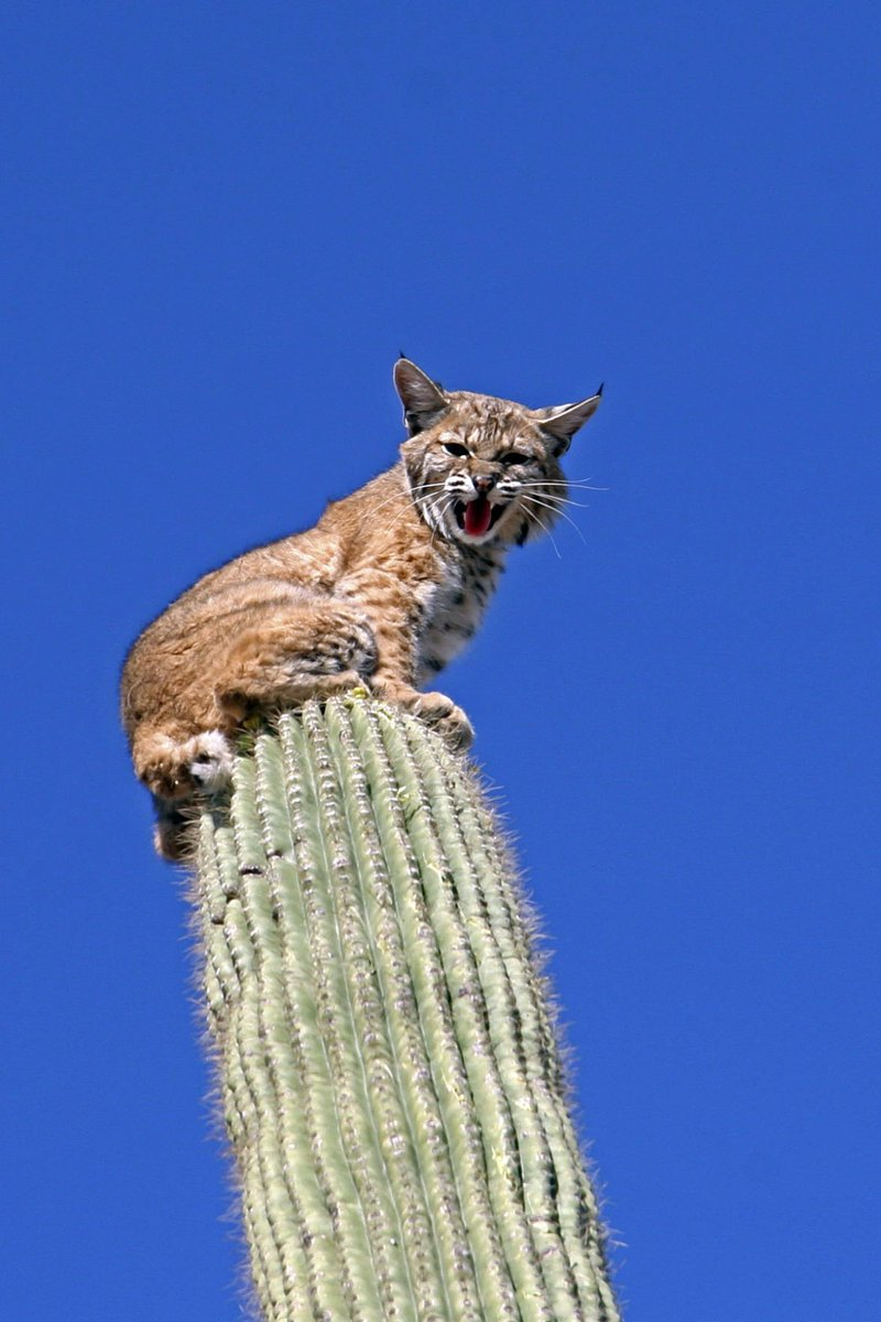 Good afternoon here are bobcats who like to be on cactuses