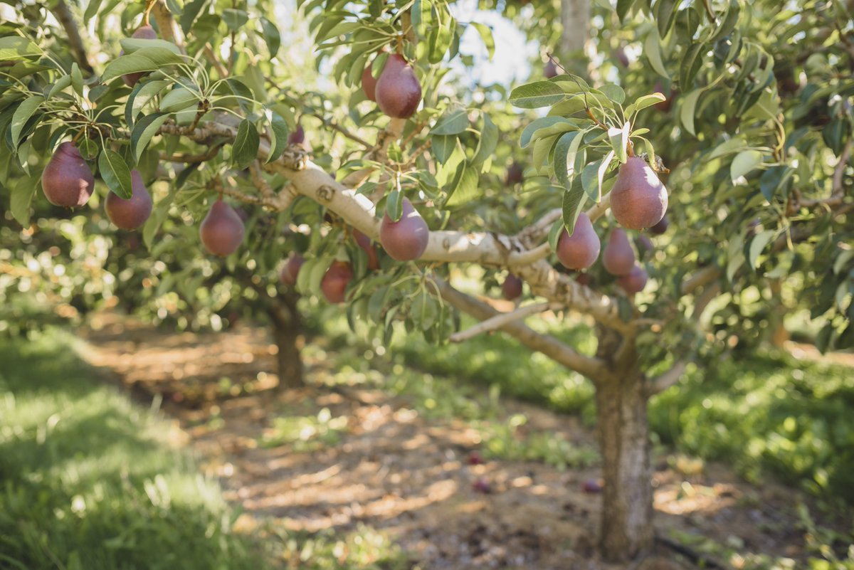 Happy #LoveATreeDay! Where would we be without our beautiful pear trees? <br>http://pic.twitter.com/a2IERHGp3C