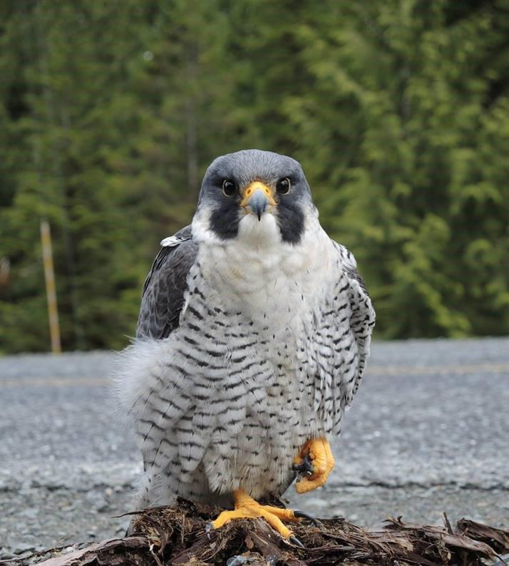 Audubon Alaska on Twitter: