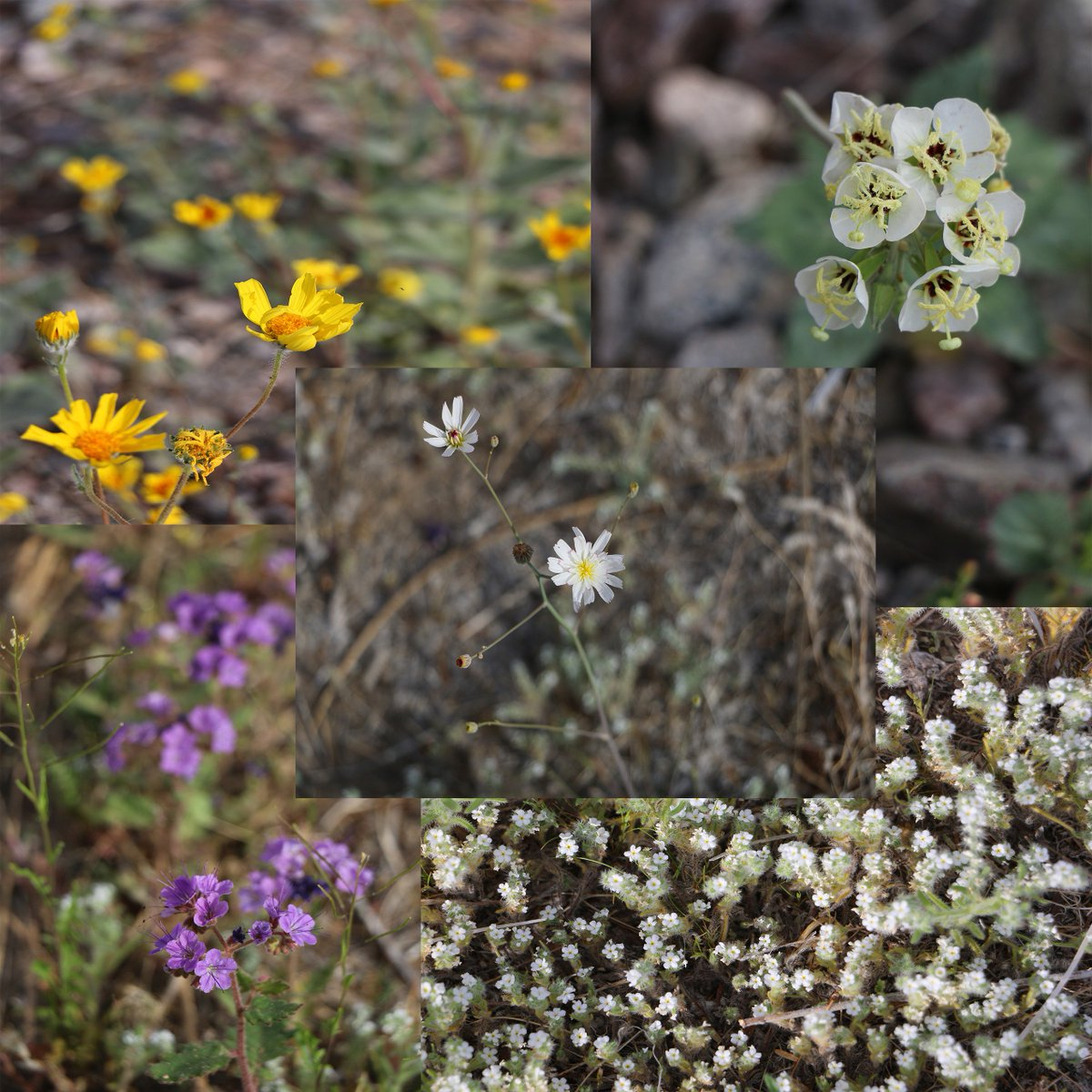 Death Valley Np On Twitter Stop To Smell The Flowers