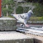地に降り立つ瞬間の鳩がなんか可愛すぎる既に羽を畳んで降り立っているのが面白いw