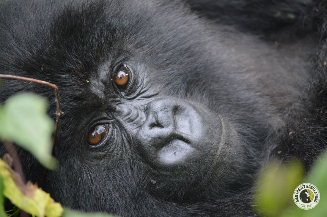 Have you met Ubuhamya? She is a critically endangered mountain gorilla who needs your help. Help protect her future. #EndangeredSpeciesDay. gorillafund.org/donate