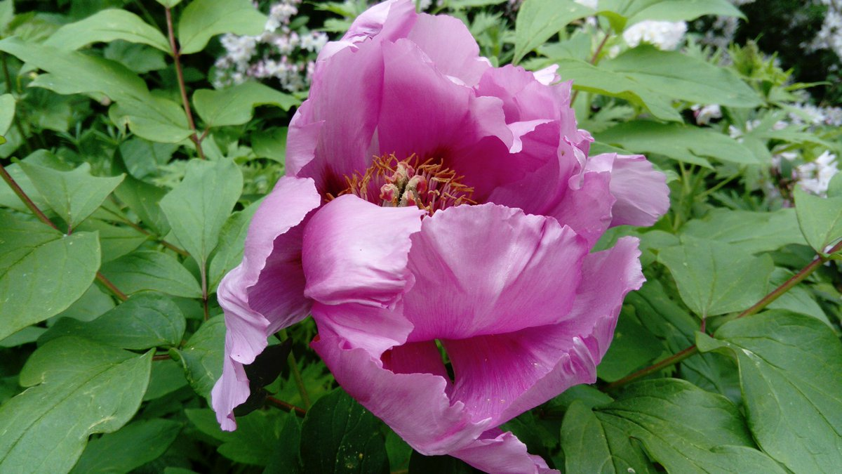 Nigel Hopes On Twitter This Paeonia Was Grown From Seed Sown In