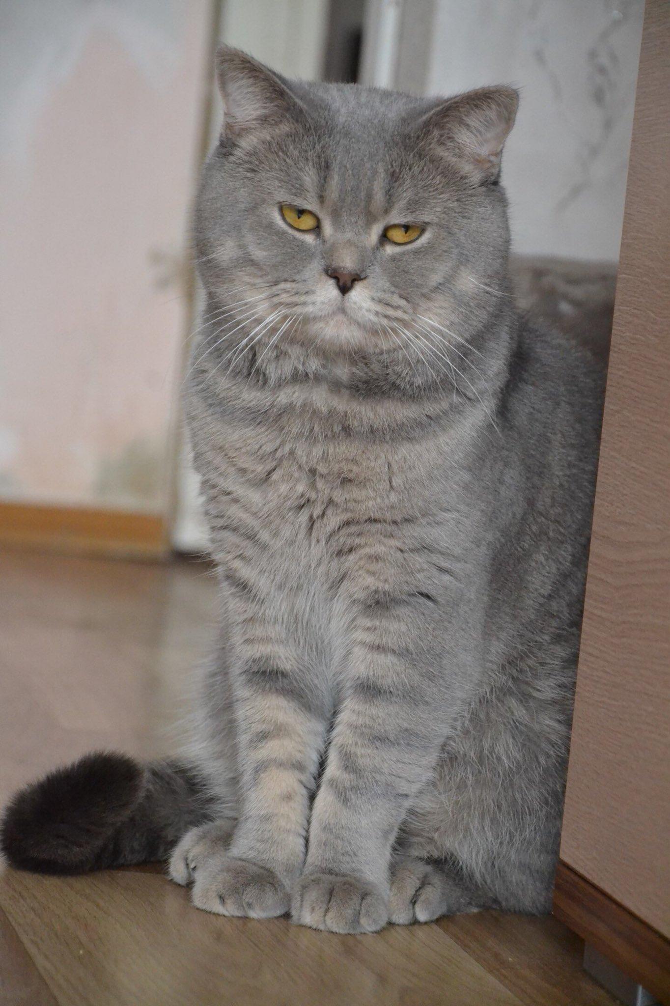 шотландский прямоухий кот фото серый оригинале
