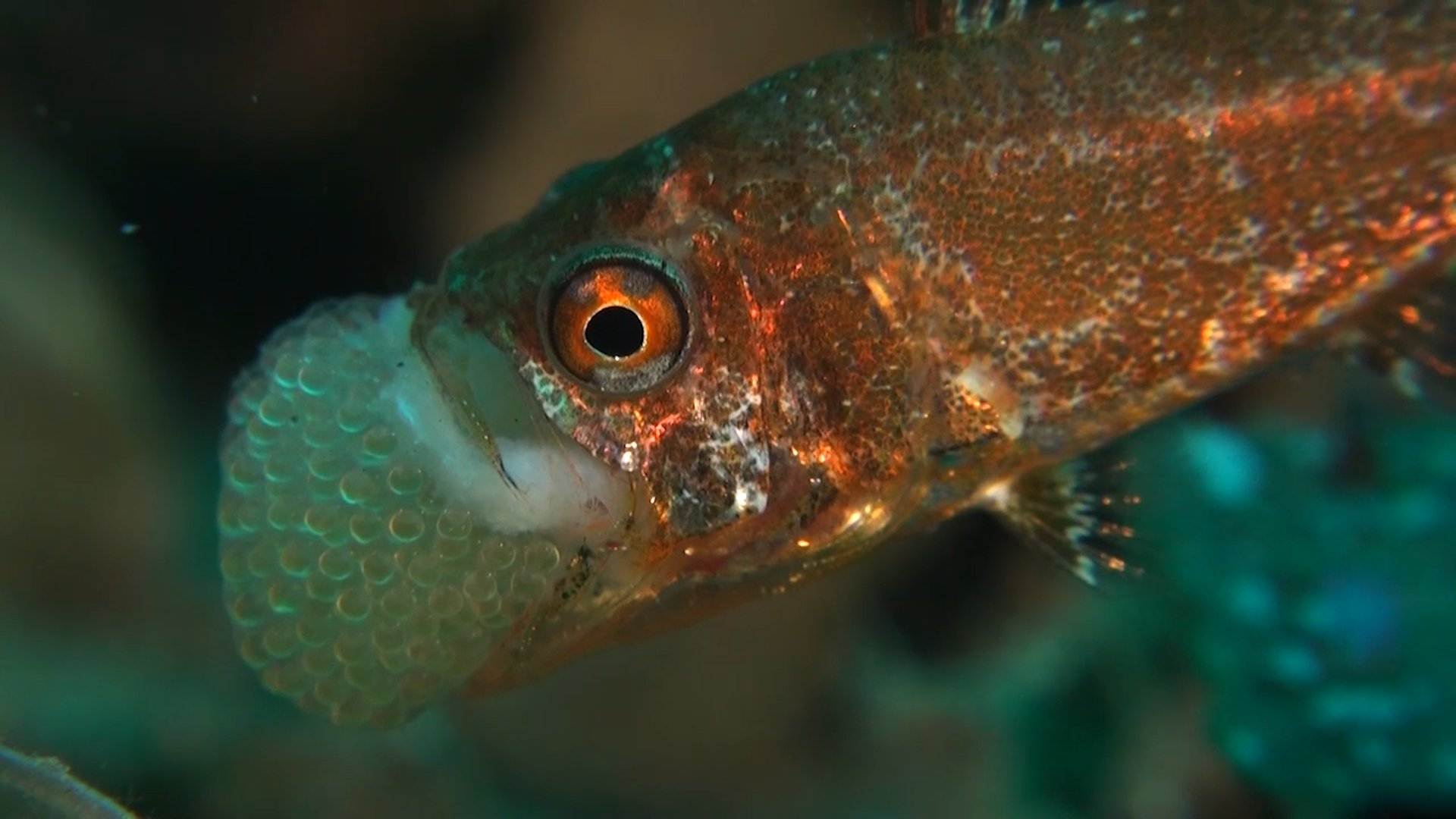 The ocean can be a scary place, so the cardinalfish nests its eggs in its mouth for safekeeping. https://t.co/cLkFeSTxue
