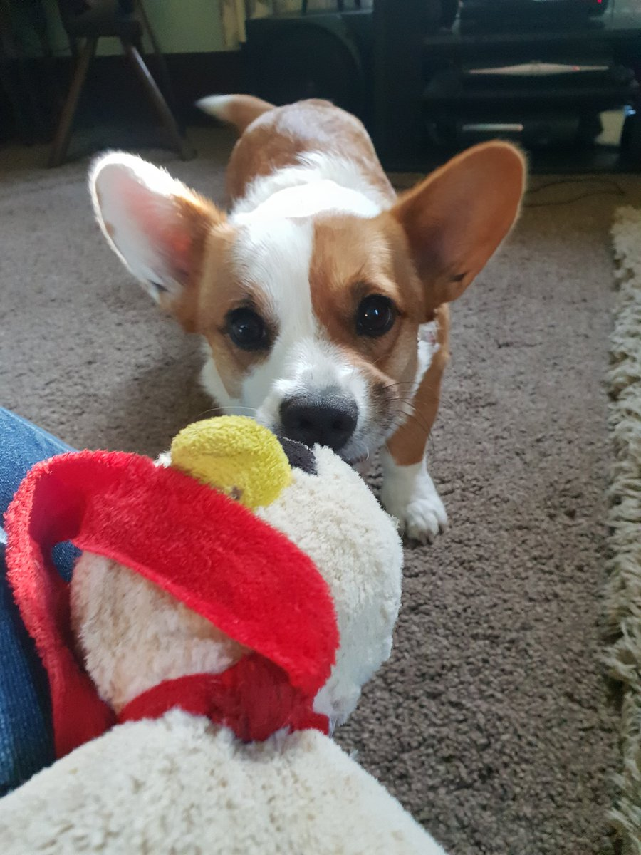 Best efforts to decapitate the singing penguin #MurderMystery #corgi #pull <br>http://pic.twitter.com/64v9QUofQy