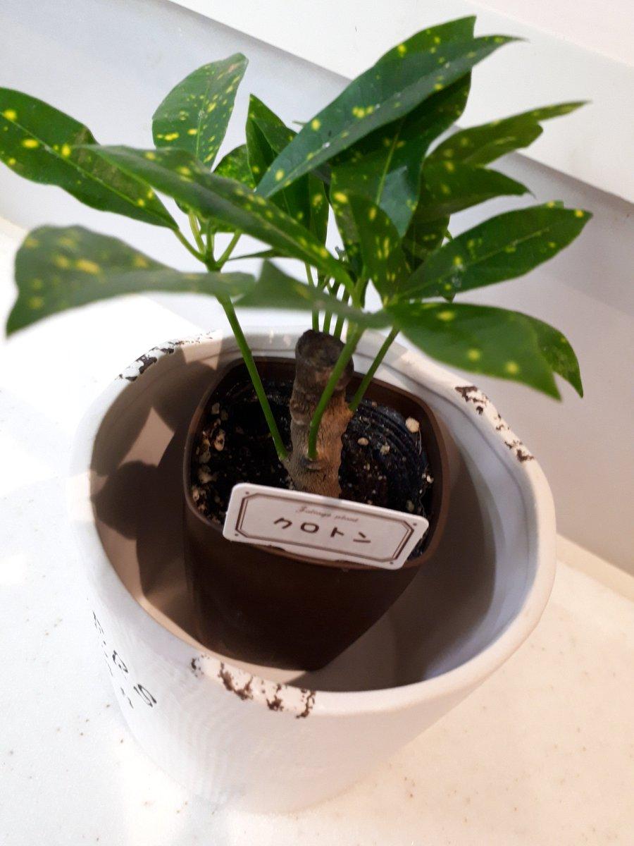 test ツイッターメディア - ダイソーで買った観葉植物。最初はとっても小さかったのに、あっという間にこんなに成長した?? #観葉植物 #クルトン #ダイソー #100均 https://t.co/4OEIb8gdgP