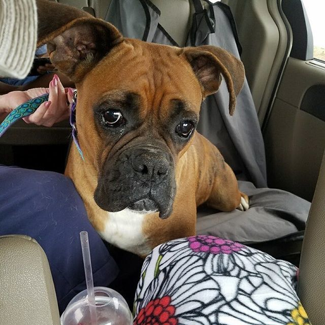 Adopt a Boxer Rescue on Twitter: