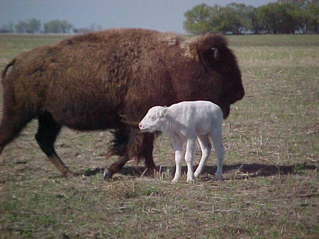 Always good to see a sacred white buffalo calf...
