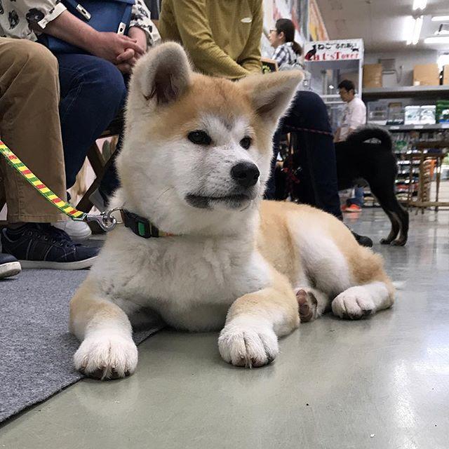 しつけ 秋田 犬