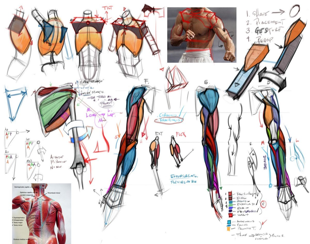 morpho anatomy for artists