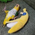 ん?バナナが2本…?バナナになりきるインコw