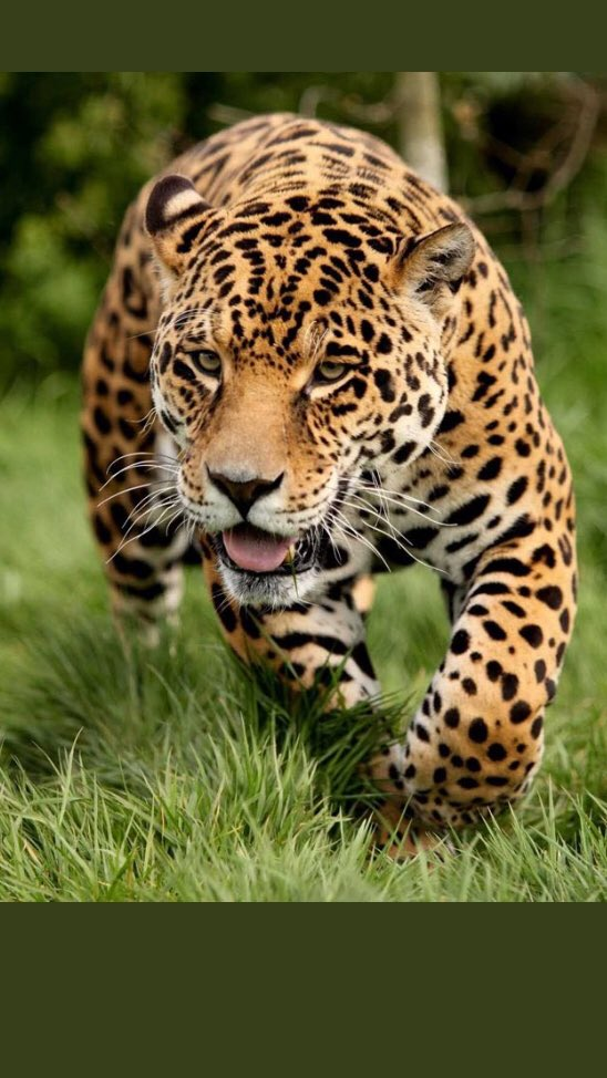 South Alabama Wbb On Twitter Did You Know That The Jaguar Is