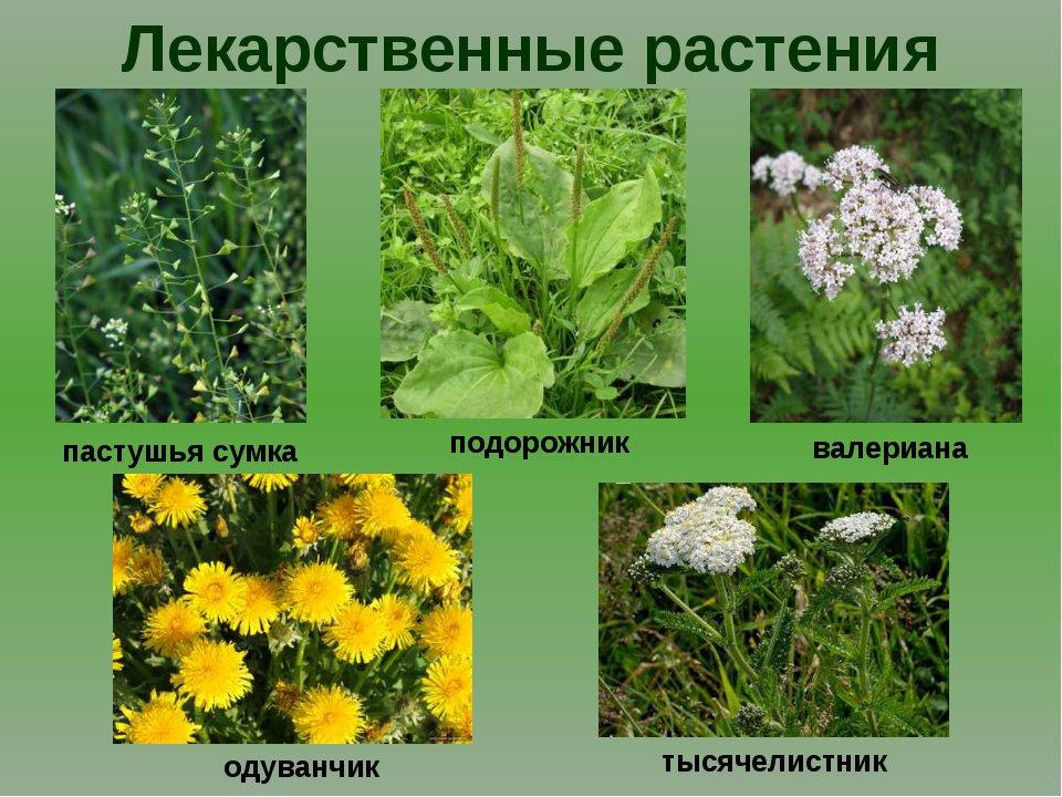 конечно фото лекарственных растений с названиями и описанием запасное колесо