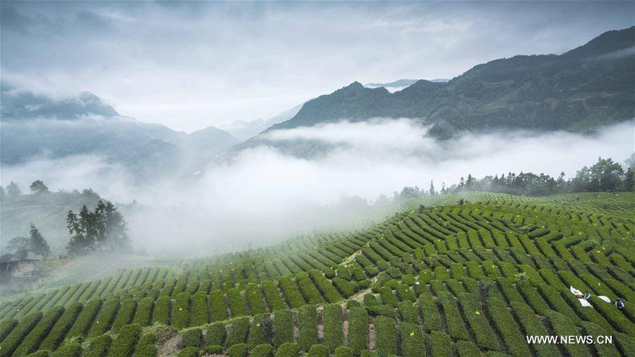 Translating to &quot;Jade Dew Tea&quot;, Enshi Yulu Tea is one of the very few types of steamed green teas in China. Originating from the Tang Dynasty, the skill of making this #tea is an intangible cultural heritage in China. (Photo: Xinhua) <br>http://pic.twitter.com/tp1iCxi0zx