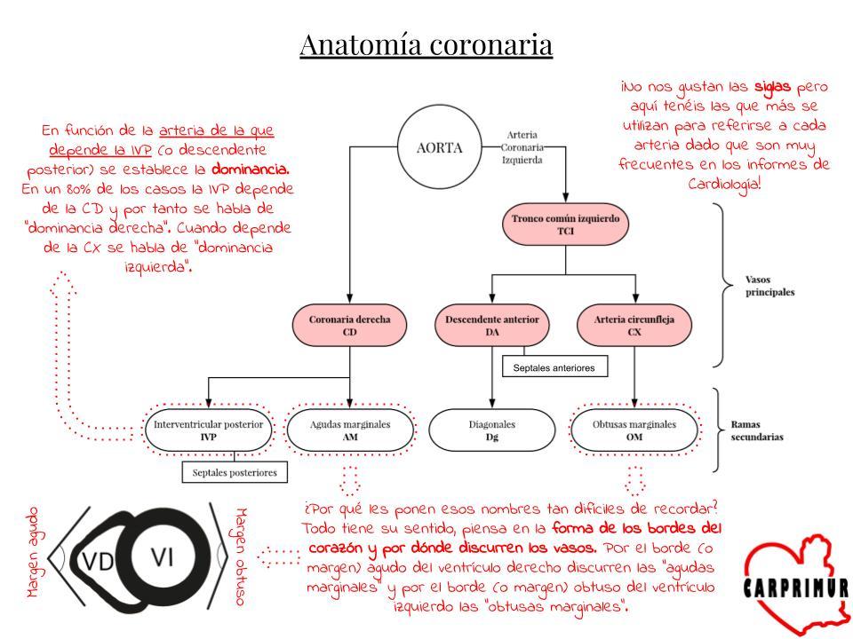 Vistoso Anatomía De La Arteria Coronaria Derecha Friso - Anatomía de ...