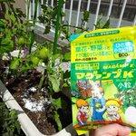 だいぶ育ってきたミニトマトにマグァンプK を追肥🎶 美味しくなってくれるといいな💕 #マグァンプファミリーといっしょ #ハイポネックス園芸部 #ゆるキャラ