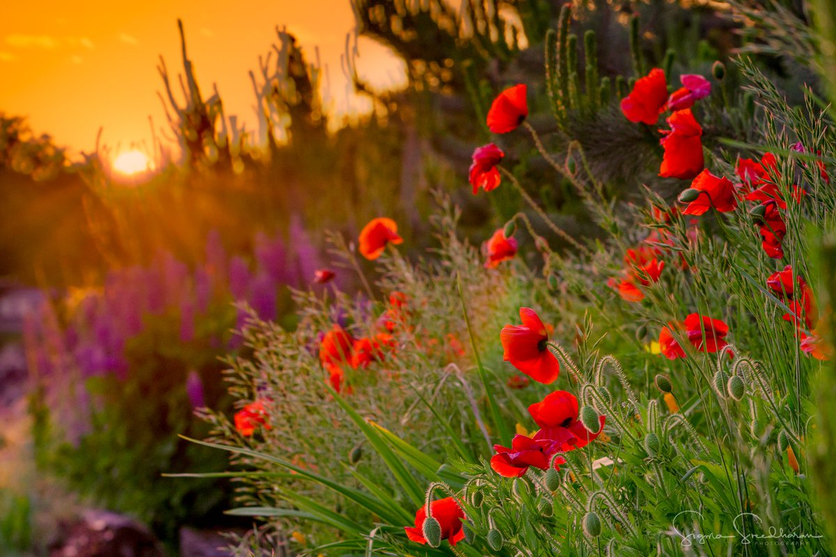 Tonight&#39;s #Seattle #Sunset from Myrtle Edwards Park... Love Poppy Season! <br>http://pic.twitter.com/iF0Eso7x9L