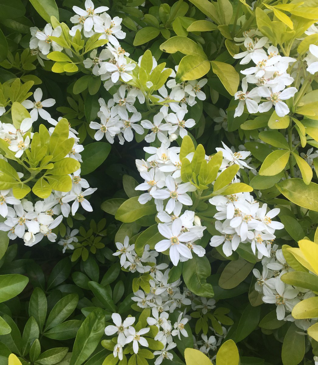 Suttons On Twitter Choisya Sundance Is Now Flowering In The Garden