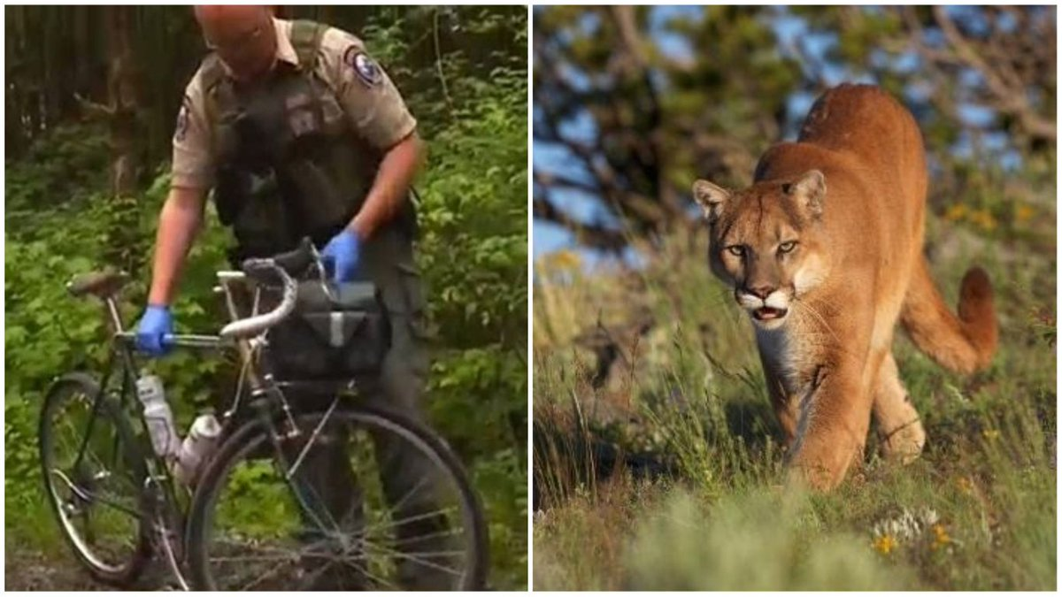Bikeroar On Twitter Mountain Bike Riders Stalked One Killed By A Cougar Learn More Https T Co H6naeacem5 Cycling Animal Cougar Mountainlion