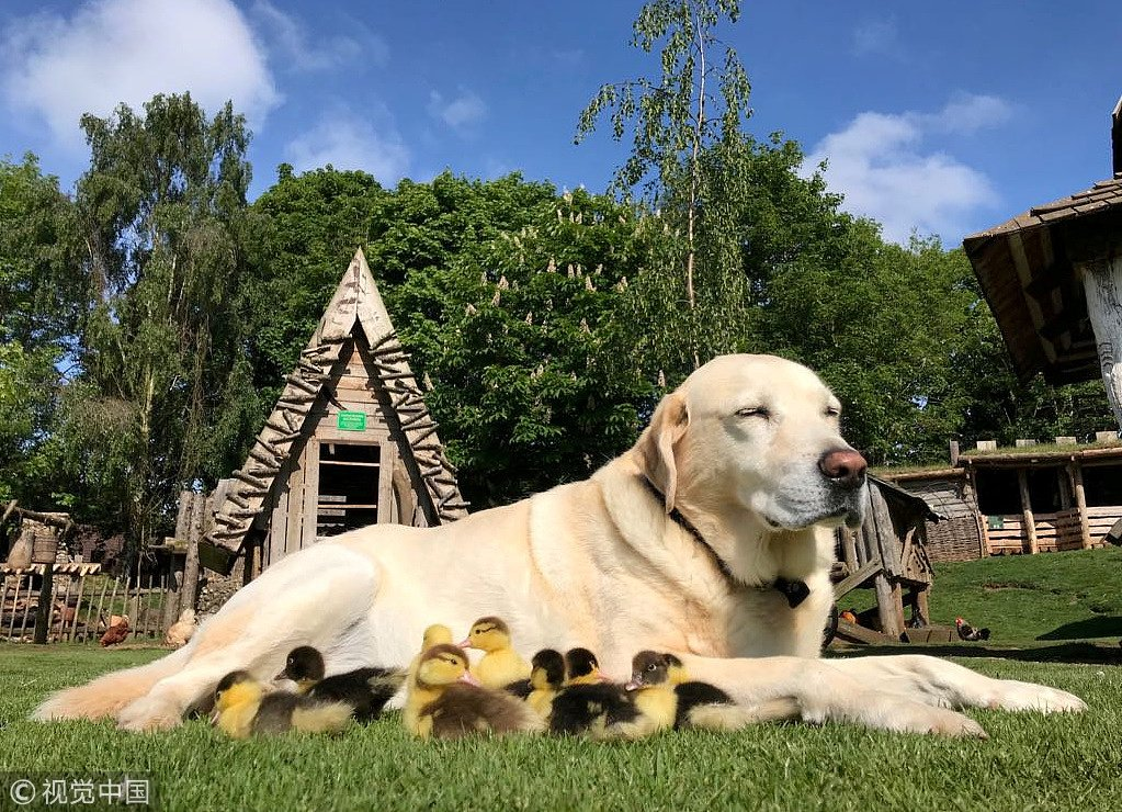 "A 10-year-old dog named Fred in #Britain ""adopts"" 9 orphaned ducklings after their mother suddenly disappeared"