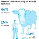 Kaikista maapallolla elävistä nisäkkäistä 96 prosenttia on ihmisiä tai ihmisen kasvattamaa karjaa. Ainoastaan neljä prosenttia on enää villieläimiä. #luonnonmonimuotoisuudenpäivä #kuudessukupuuttoaalto