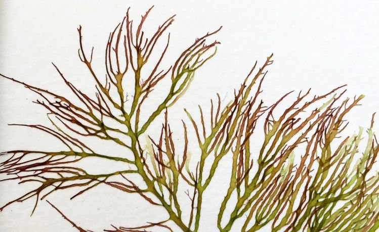 Vandusen Garden On Twitter Our Popular Seaweed Pressing Workshop